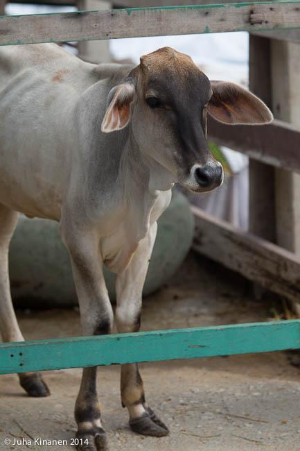Paikallinen maitokone