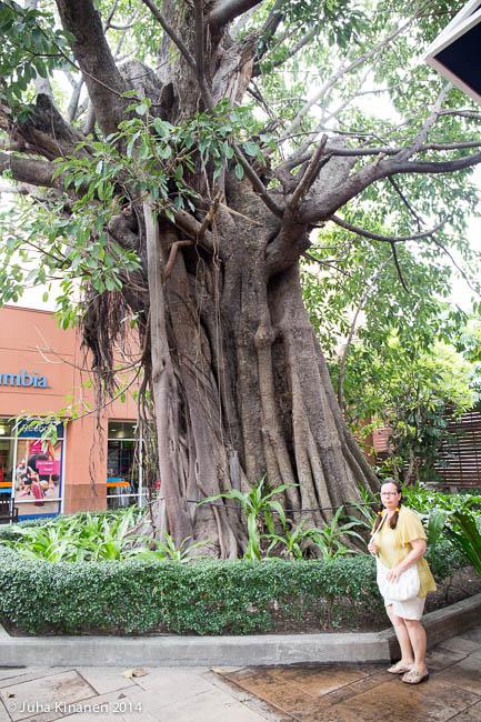 aikas iso puu