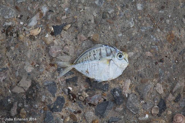 Kala kuivalla maalla