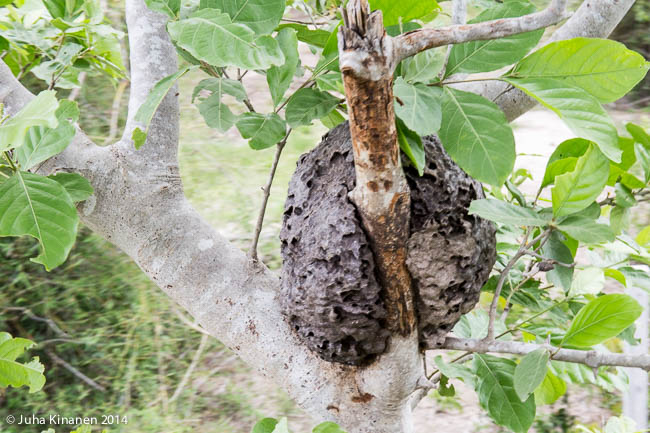 Muurahaispesä puussa